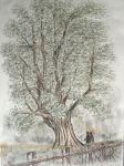 Ayor St Lawrence Tree- [ colour pencils on paper ]