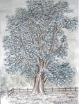Tree at Ayot, Herts [ coloured pencils on paper ]